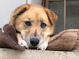 退屈犬の写真・画像素材[1204241]