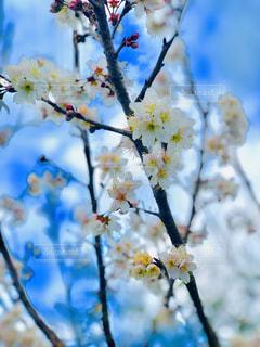 花,春,桜,枝,季節,花見,サクラ,草木,桜の花,さくら,小さい春,ブロッサム
