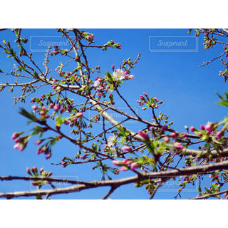 空,花,春,桜,枝,青い空,サクラ,樹木,つぼみ,蕾,草木,Spring,さくら,ツボミ,ブロッサム