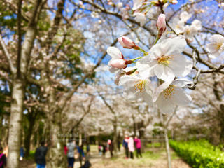 桜,大阪城公園