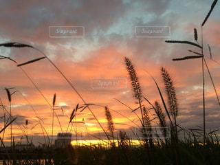 空,秋,屋外,夕焼け,猫じゃらし,多摩川,秋空,多摩川土手