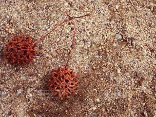公園で見つけたラブラブな木ノ実の写真・画像素材[869041]