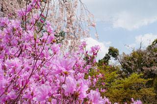 枝垂れ桜と躑躅の写真・画像素材[1123847]