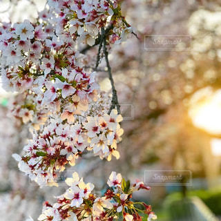 夕焼けに染まる桜も綺麗ですね。の写真・画像素材[1124353]