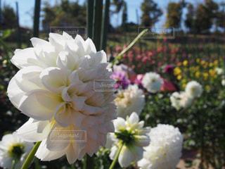 ダリアの花が一面に咲く馬見丘陵公園。の写真・画像素材[1124667]