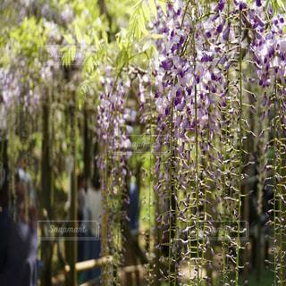 奈良の藤棚。の写真・画像素材[1133599]