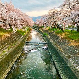 千本桜の桜並木💕🌸の写真・画像素材[1217826]