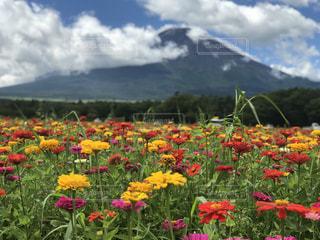 富士山とダリア🗻の写真・画像素材[1381061]