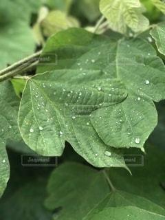 雨,屋外,植物,葉っぱ,水滴,キラキラ,水玉,雫,happy,しずく,お出かけ,コロコロ,ワクワクする瞬間
