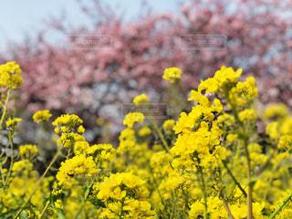 桜,綺麗,菜の花,景色,フォトジェニック