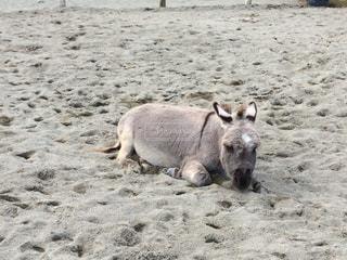 砂浜の上に横になっているクマの写真・画像素材[1612526]
