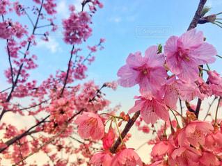 ピンクの花の木の写真・画像素材[1812363]
