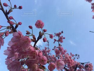 風景,空,花,桜,屋外,雲,晴れ,景色,草木,日中