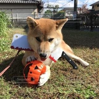 柴犬ハロウィン仮装中の写真・画像素材[869044]