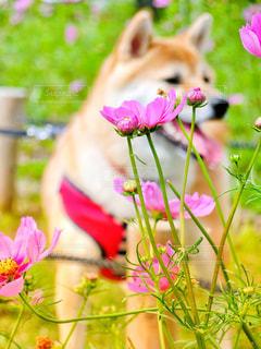 犬,風景,花,秋,花畑,屋外,ピンク,緑,コスモス,青,散歩,鮮やか,ペット,柴犬,グリーン,秋桜,愛犬,赤柴,コスモス畑,草木,多色
