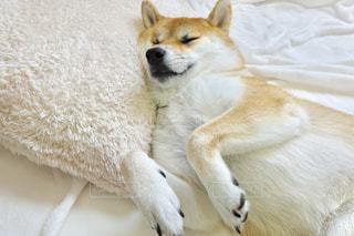 柴犬 犬 寝る うらめ柴の写真・画像素材[1648842]
