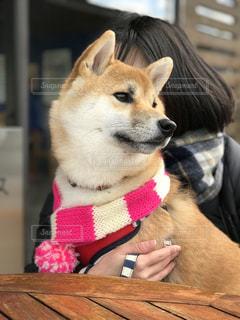 柴犬 犬 マフラー 散歩 女性の写真・画像素材[1681902]