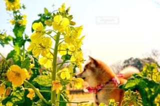 犬,自然,空,花,花畑,大阪,散歩,黄色,菜の花,日本,柴犬,イエロー,明るい,菜の花畑,和犬,関西,赤柴,草木,日本犬,yellow,しばいぬ,しばけん,近畿地方,近畿