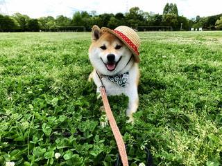 犬,公園,芝生,屋外,大阪,緑,晴れ,帽子,スマイル,暑い,景色,麦わら,爽やか,樹木,麦わら帽子,笑顔,日本,柴犬,グリーン,関西,赤柴,伏せ,しばいぬ,しばけん
