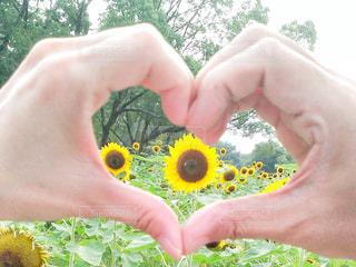 ひまわり畑 ハート 夏の写真・画像素材[2263450]