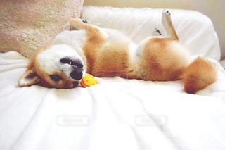 柴犬 犬 ベッド 甘える 白の写真・画像素材[2477872]