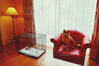 柴犬 ソファー 赤柴 赤の写真・画像素材[2478159]