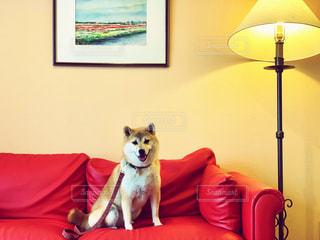 柴犬 犬 ソファー 赤 室内の写真・画像素材[2480794]