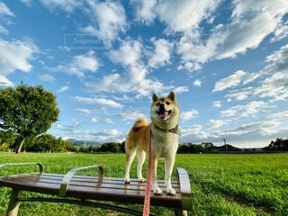 犬 柴犬 赤柴 公園 秋晴れ 芝生の写真・画像素材[2711800]