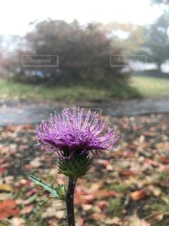 紫色の花のクローズアップの写真・画像素材[2109321]