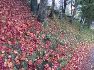 雨の中の紅葉の写真・画像素材[817120]