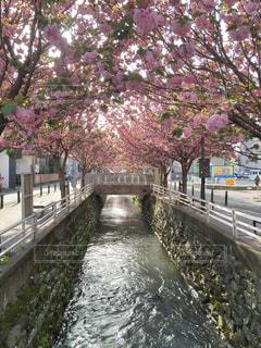 自然,桜,水,景色,八重桜