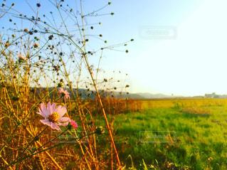 空,花,ピンク,青空,pink,新潟県,photo,インスタ映え