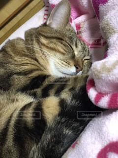 猫,動物,かわいい,ペット,寝る,人物,ネコ