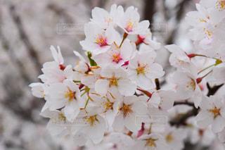 花,春,桜,景色,花びら,草木,さくら,ブルーム,ブロッサム