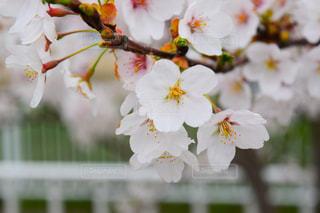 公園,花,春,桜,白,景色,草木,さくら,ブルーム,ブロッサム