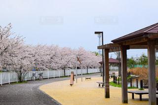 空,公園,花,春,桜,屋外,樹木,日中,さくら
