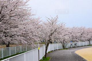 空,公園,花,春,屋外,樹木,桜の花,日中,さくら,ブロッサム