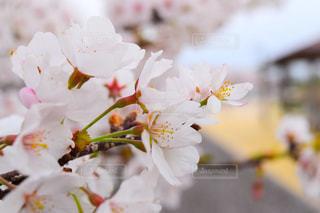 花,春,桜,景色,草木,さくら,ブロッサム