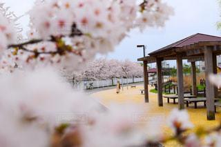 空,公園,花,春,樹木,お花見,さくら,ブロッサム