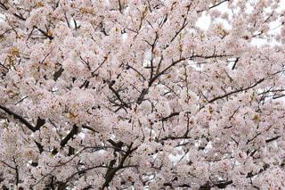 花,春,樹木,お花見,桜の花,さくら,ブロッサム