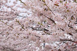 花,春,屋外,樹木,お花見,草木,桜の花,さくら,ブロッサム