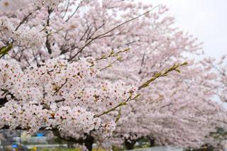春,屋外,樹木,お花見,桜の花,さくら,ブルーム,ブロッサム