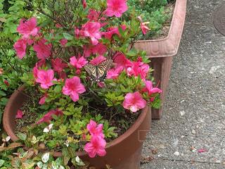 ピンクの花,ツツジ