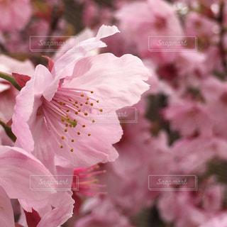 桜 花のアップの写真・画像素材[856513]