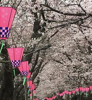 幸手市 権現堂堤 桜の花とぼんぼりの写真・画像素材[856534]