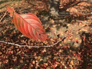 秋 桜の葉の写真・画像素材[857898]