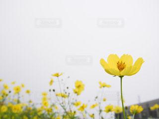 黄色の花の写真・画像素材[760536]