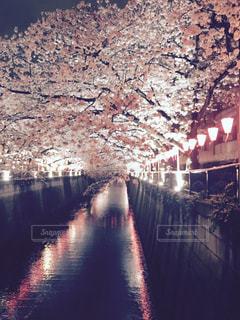 桜,夜,屋外,東京,川,夜桜,サクラ,目黒川,ちょうちん,さくら