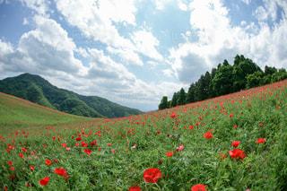 フィールドに赤い花の写真・画像素材[1031619]