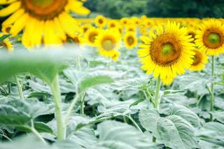 近くに黄色い花のアップの写真・画像素材[1368878]